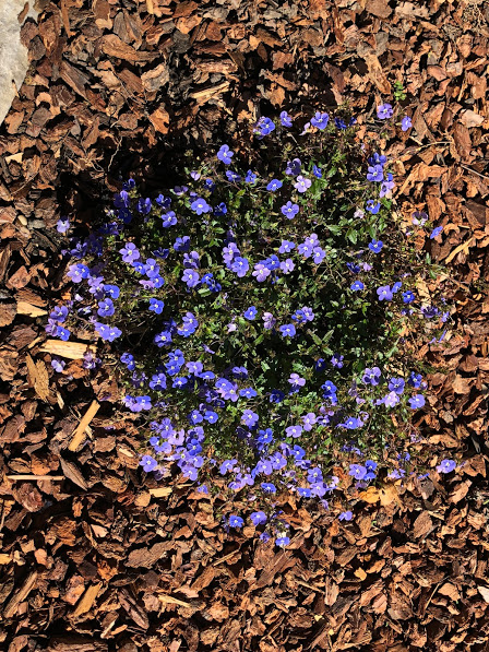 Vernonica Ground cover